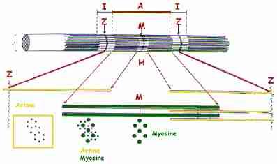 myosine actine cycle des interaction simple
